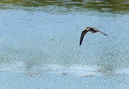 Hobby in pursuit of a dragonfly