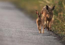 Brown hare leverett and mum