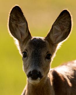 Roe deer fawn portrait