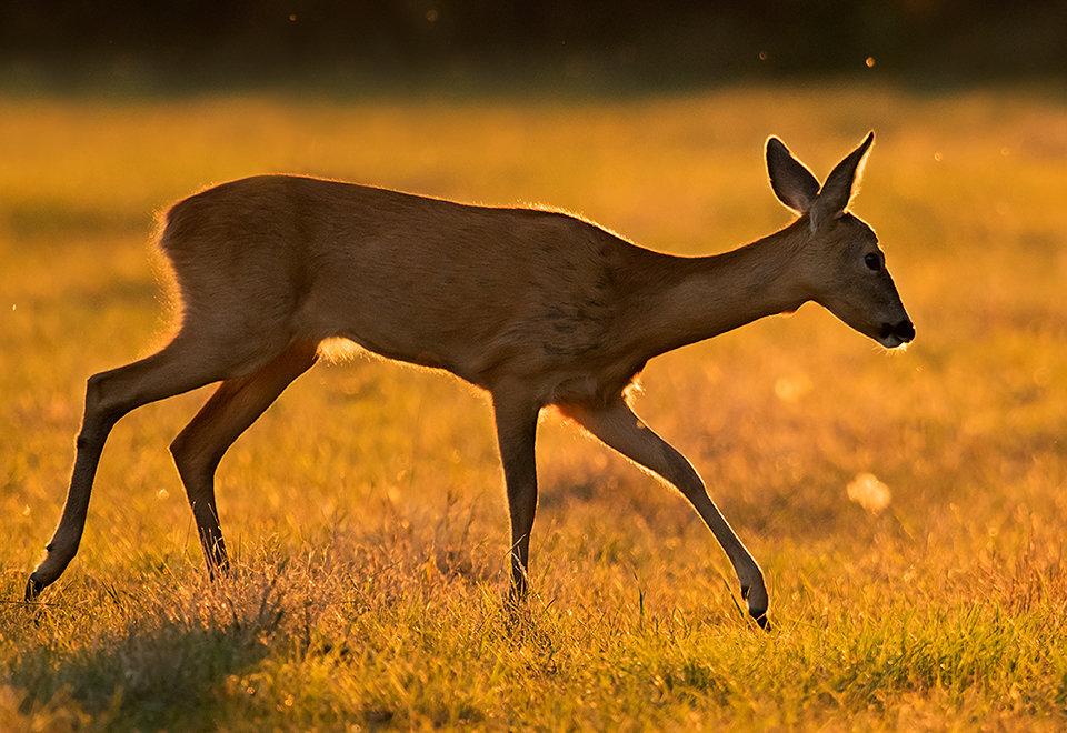 Roe deer at sunset