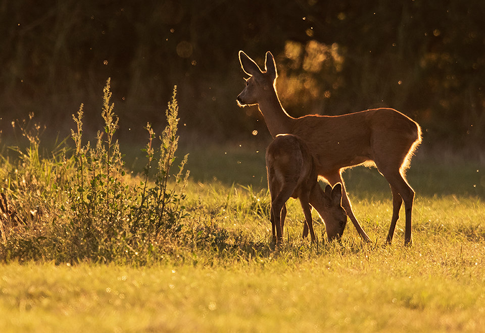 Row deer and fawn