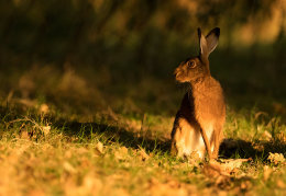 Autumnal Brown hare