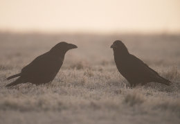 Ravens at dawn