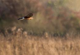 Ringtail Hen harrier