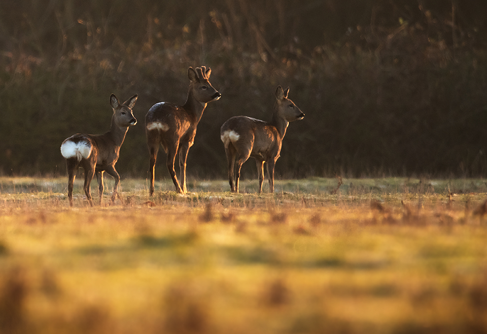 Roe Deer buck and does
