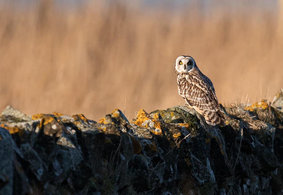 Perched Short Eared Owl