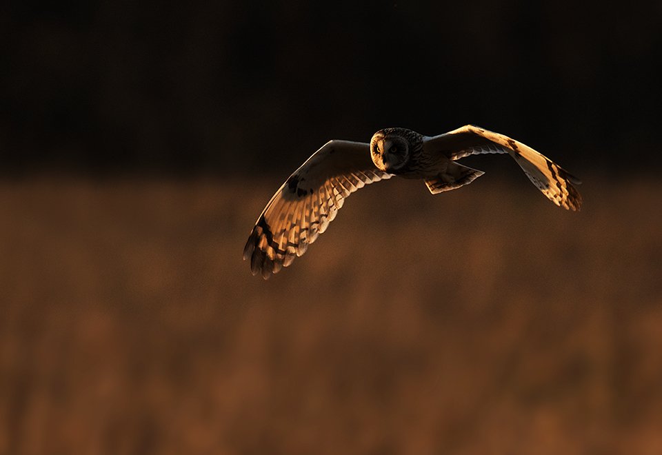Sunset Short Eared Owl
