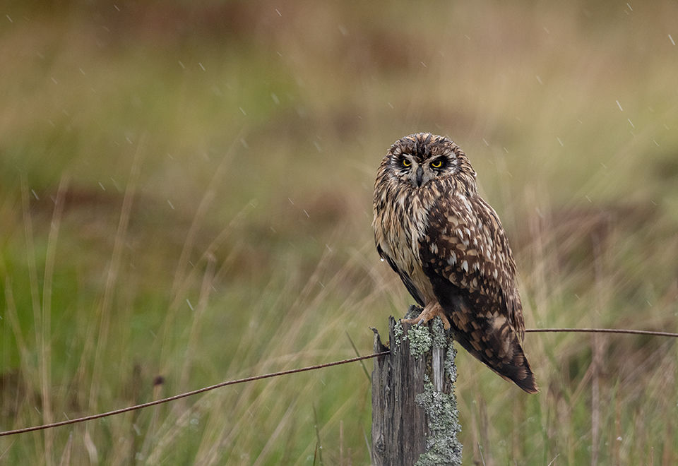 Short Eared Owl in the rain