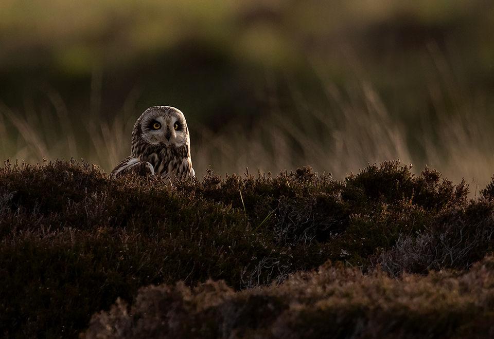 Sunset Short Eared Owl