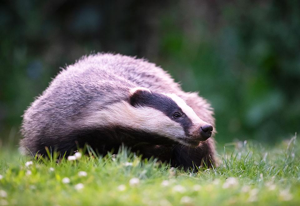 Badger scratching