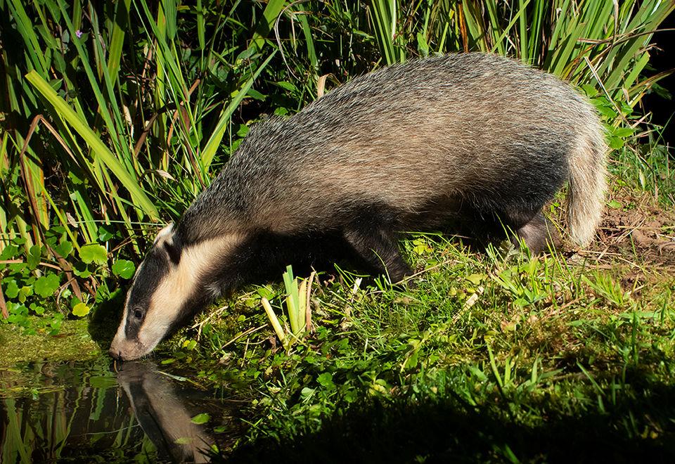 Drinking badger
