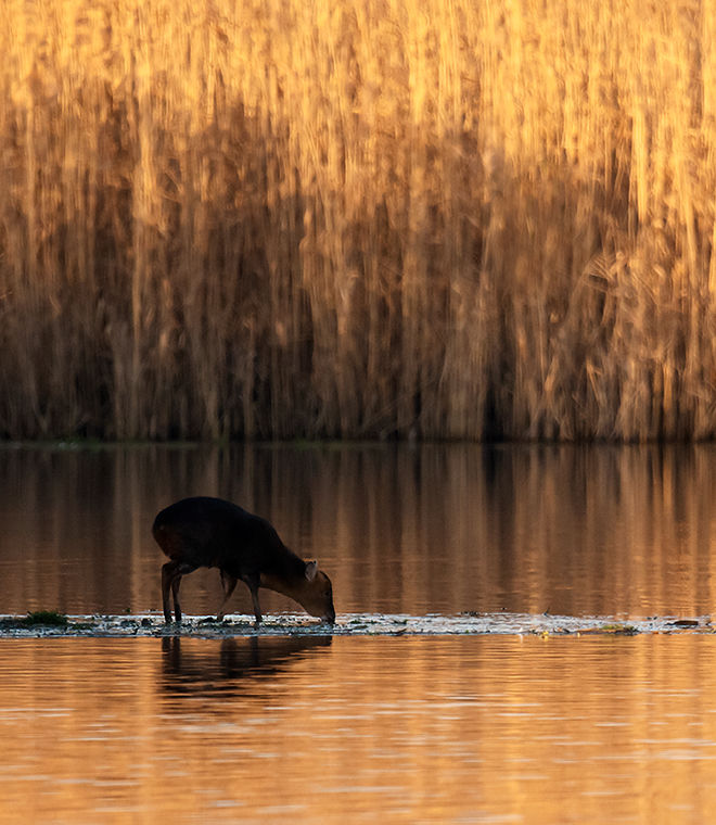 Muntjac at Sunset