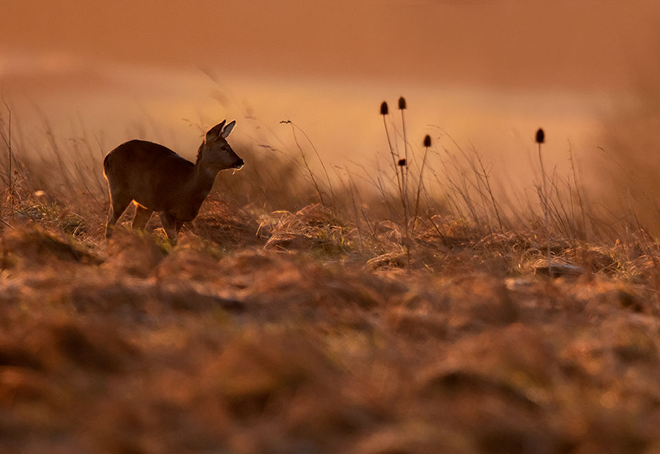 Roe Deer at dawn