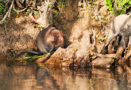 Water Vole on River Windrush