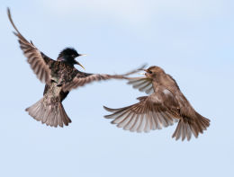 Adult and Juvenile Starlings Quarrelling in Flight