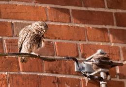 Scratching Little Owl