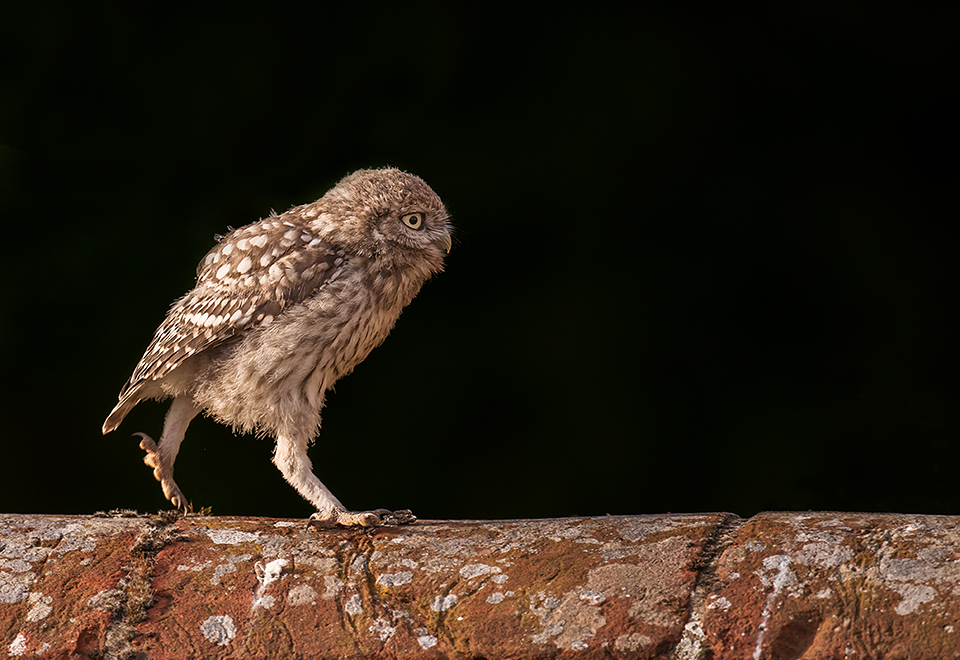 Walking Little Owl