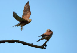 Mr & Mrs Kestrel
