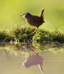 Wren reflection