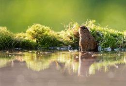 Wren bathing