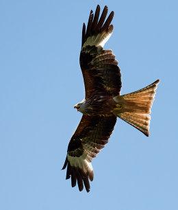 Red Kite calling