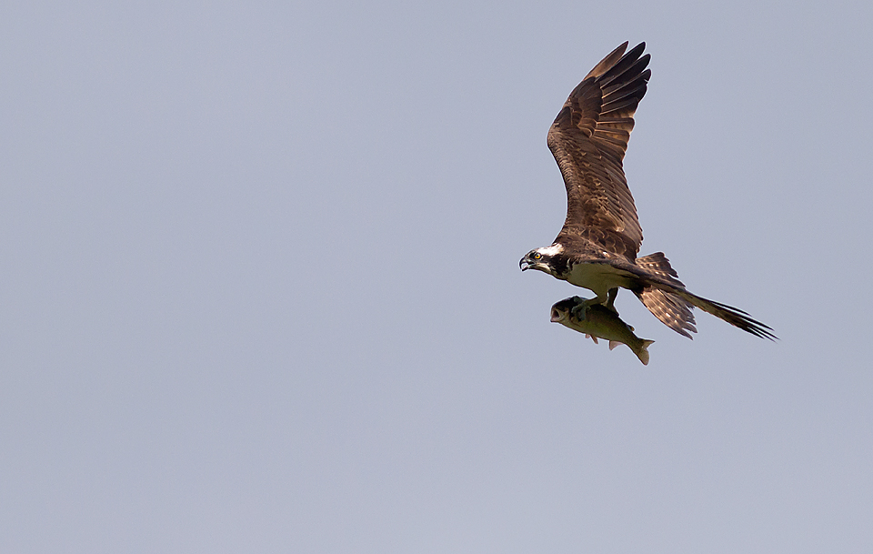 Osprey in Fight