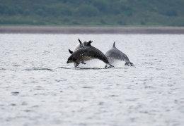 Playful bottlenose dolphins