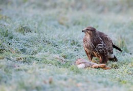 Buzzard with rabbit