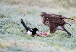 Buzzard not sharing