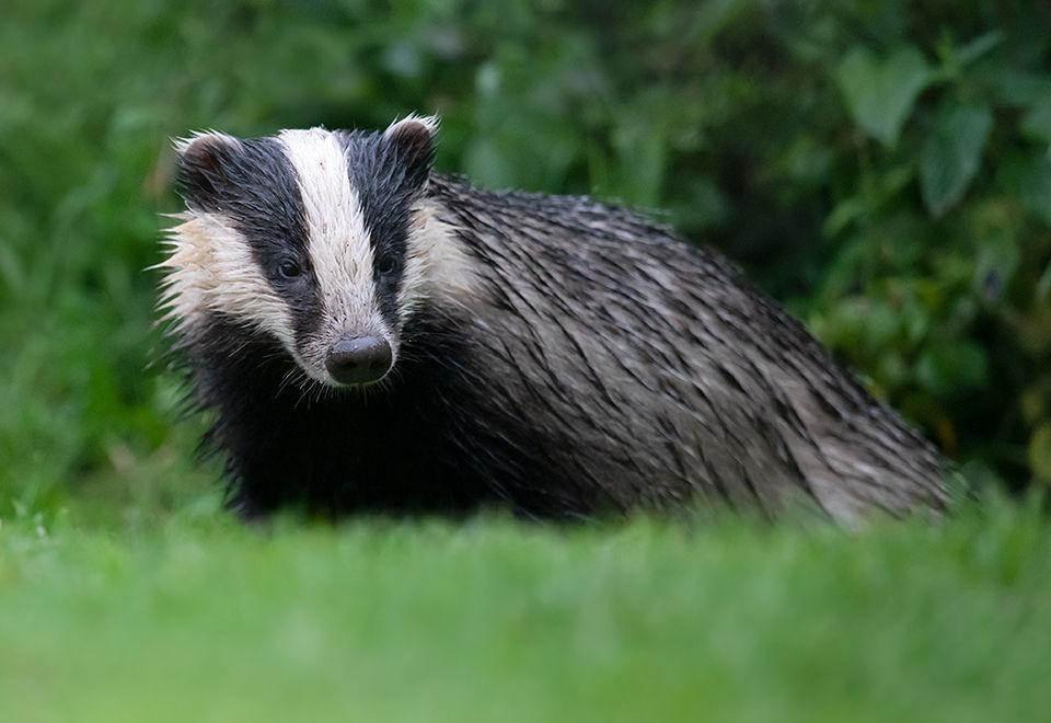 Badger in the rain
