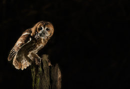 Tawny Owl with vole