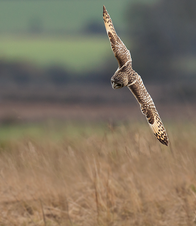 Short Eared Owl diving for prey