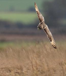 Short Eared Owl diving for prey