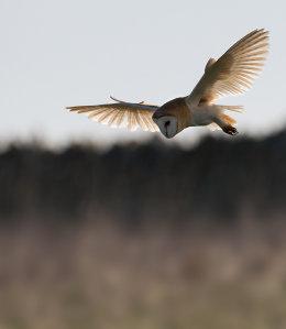Backlit Barn Owl