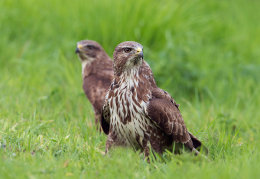 Buzzard pair