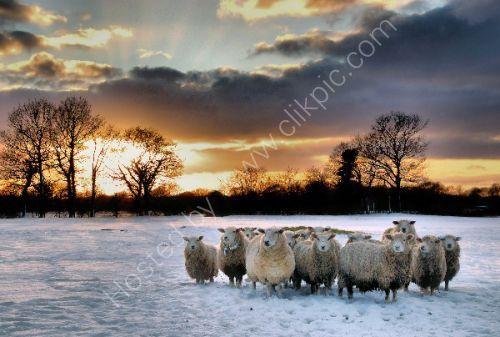 Sheep,Snow and sunsetSunset.