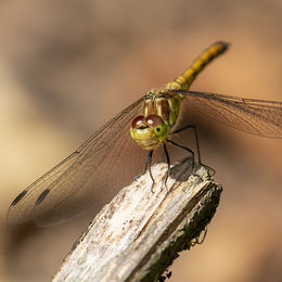 ATW. H.C. Dragon Fly.