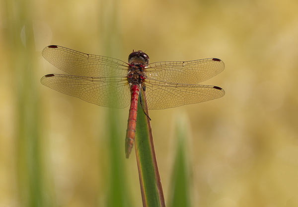 ATW. H.C. Dragon Fly.