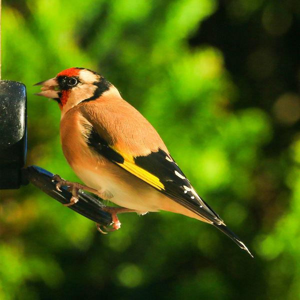 ATW. H.C. Wild birds.
