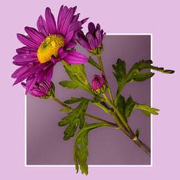 2nd. Chrysanthemum. Ray Bell. Judge: George Richardson.