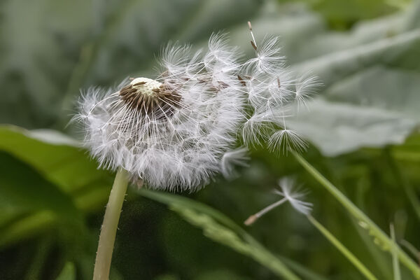 2nd. Dandelion Clock. Gayle Hall. Judge: Ray Bell.