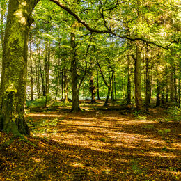 LIGHT STREAMING THROUGH THE TREES: Good autumnal image. Do feel as if want to walk through. Good lead in to centre of picture.