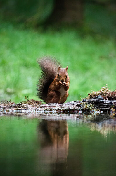 3rd.Red Squirrel. Graham Hopkinson. Judge: The Members