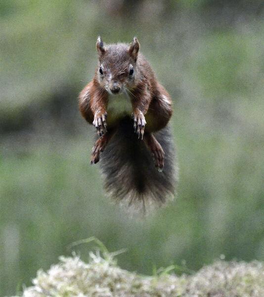 3rd.Red Squirrel. Graham Hopkinson. Judge: The Members.