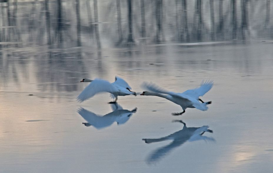 Swan Lake - Highly Commended