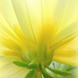 2nd. Yellow Dahlia. Sue Merrington. Judge: John Stephenson
