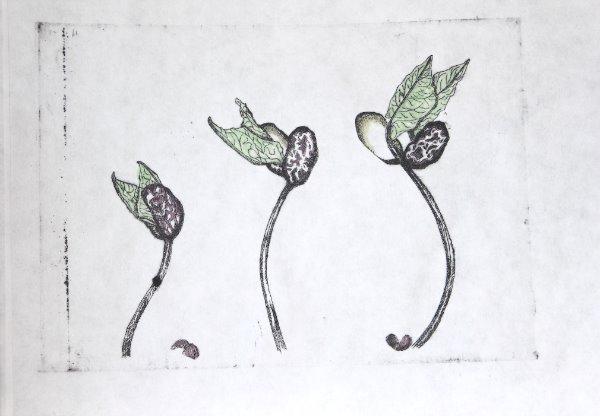 Etching (drypoint) - Tiger Bean Seedlings