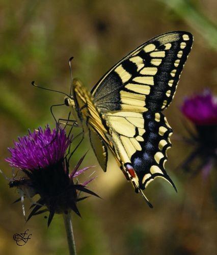 Papilio machaon, Common Swallowtail