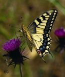 Papilio machaon, Common Swallowtail