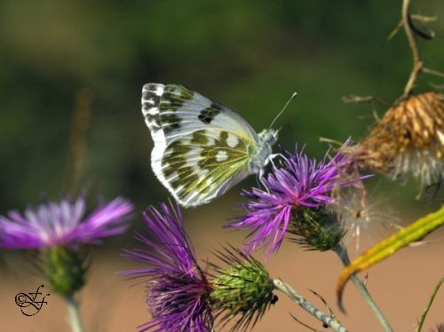 Pontia daplidice, Bath White